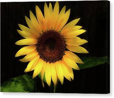 Sunflower Canvas Print by Barbara Griswold-Kridner