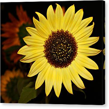 Sunflower Canvas Print by Cathie Tyler