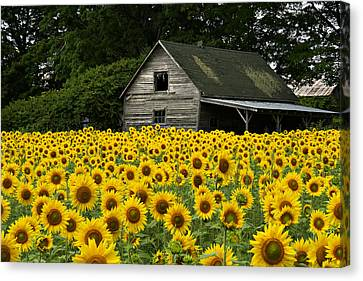 Sunflower Field And Barn Canvas Print by Tom  Wray