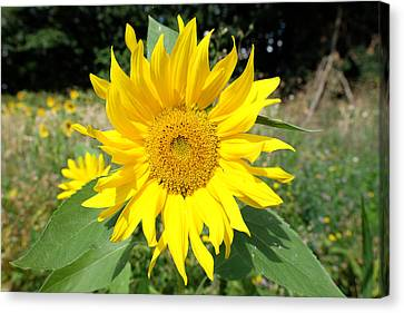 Sunflower Canvas Print by Mark Severn