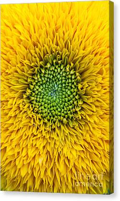 Sunflower Teddy Bear Canvas Print by Tim Gainey