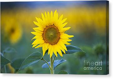 Sunflower Canvas Print by Tim Gainey