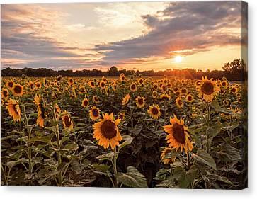Sunflowers At Sunset Canvas Print by Scott Bean