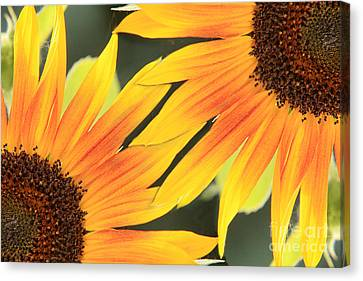 Sunflowers Corners Canvas Print by James BO  Insogna