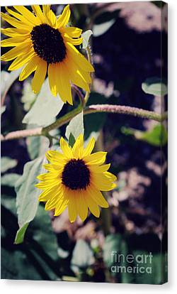 Sunflowers Canvas Print by Gloria Pasko