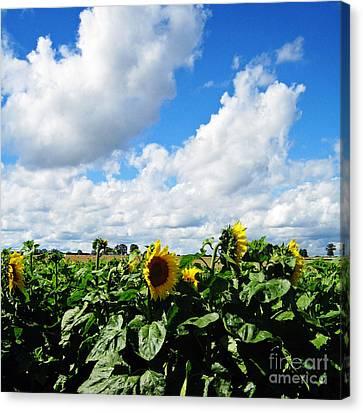 Sunflowers Canvas Print by Jeff Barrett