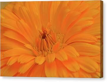 Sunny Calendula Canvas Print by Maria Suhr