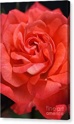 Sunny Side Of Rose Canvas Print by Joy Watson