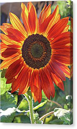 Sunny Smile Canvas Print by Cheryl Rose