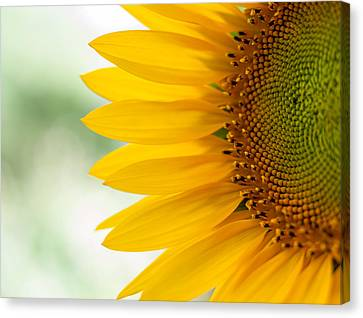 Sunny Sunflower Canvas Print by Terry DeLuco