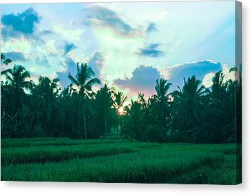 Sunrise Breaking Over Rice Canvas Print by Caroline Benson