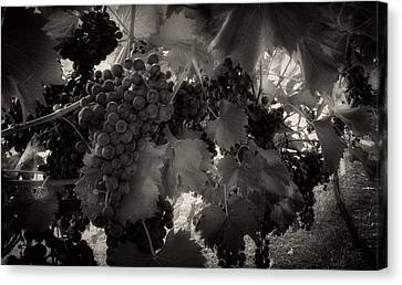 Sunrise In The Vineyard In Black And White Canvas Print by Greg Mimbs