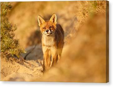 Sunset Fox Cub Canvas Print by Roeselien Raimond