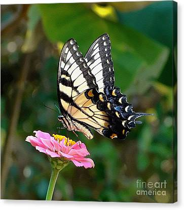Swallowtail Butterfly 3 Canvas Print by Sue Melvin