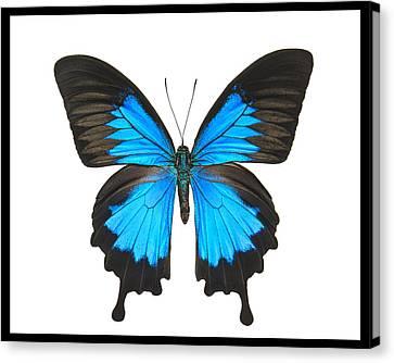 Swallowtail Butterfly Canvas Print by Lisbet Sjoberg