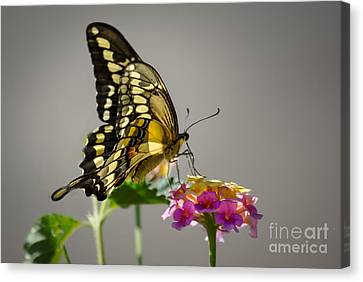 Swallowtail Canvas Print by Robert Bales