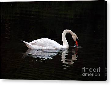 Swan Drinking Canvas Print by Clayton Bruster