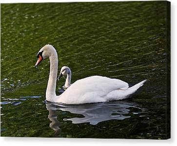 Swan Mother With Cygnet Canvas Print by Rona Black