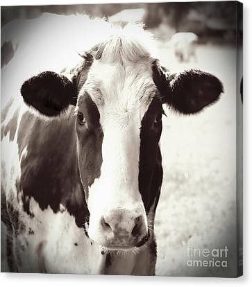 Sweet Cow Face Canvas Print by Carol Groenen