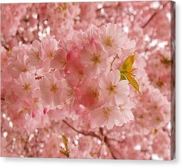 Sweet Pink- Holmdel Park Canvas Print by Angie Tirado