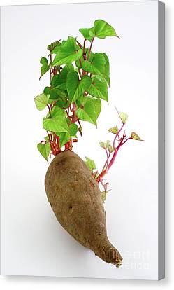Sweet Potato Canvas Print by Gaspar Avila