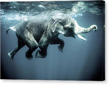 Swimming Elephant Canvas Print by Olivier Blaise