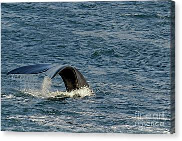 Tailfin Of A Southern Right Whales Canvas Print by Sami Sarkis