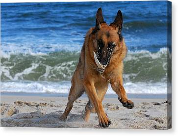 Take Off With A Clam Shell - German Shepherd Dog Canvas Print by Angie Tirado