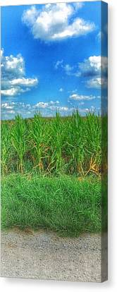 Tall Corn Canvas Print by Jame Hayes