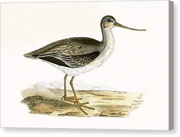 Terek Godwit Canvas Print by English School