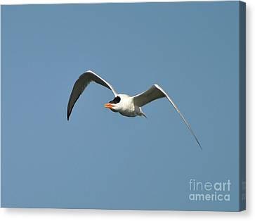 Tern Flight Canvas Print by Al Powell Photography USA