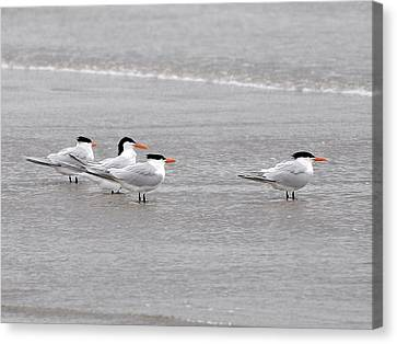 Terns Wading Canvas Print by Al Powell Photography USA