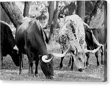 Texas Longhorn Steer In Black And White Canvas Print by Alan Look