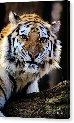 That Tiger Look Canvas Print by Karol Livote