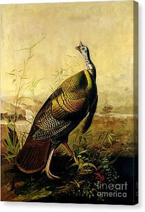 The American Wild Turkey Cock Canvas Print by John James Audubon
