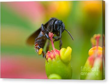 The Black Bee Canvas Print by Cesar Marino