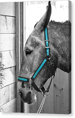 The Blue Mule Canvas Print by Edward Myers