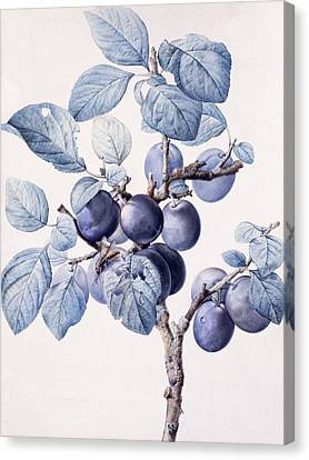 The Branch Of A Plum Tree Canvas Print by Pierre Joseph Redoute