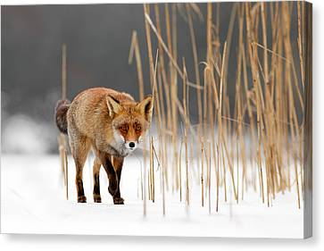 The Catcher In The Reed - Red Fox Walking On Ice Canvas Print by Roeselien Raimond