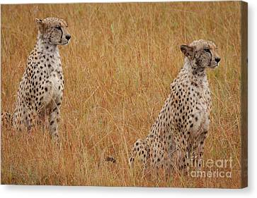 The Cheetahs Canvas Print by Stephen Smith