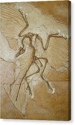 The Earliest Bird, Archaeopteryx Canvas Print by Jason Edwards