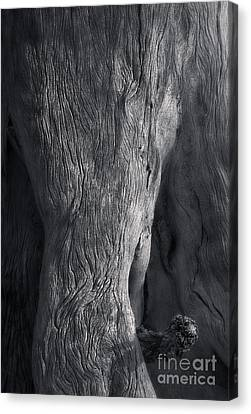 The Elephant Tree Canvas Print by Royce Howland