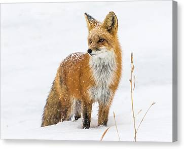 The Fox And The Blizzard #3 Canvas Print by Mindy Musick King