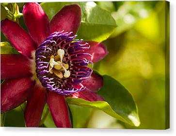 The Heart Of A Passion Fruit Flower Canvas Print by Andres Leon