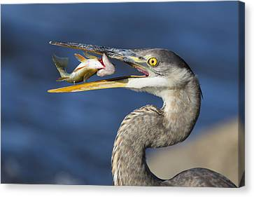 The Heron And The Perch Canvas Print by Mircea Costina Photography