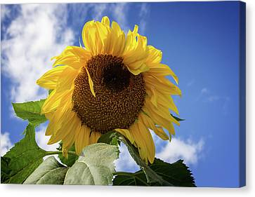 The Last Sunflower Canvas Print by John Haldane