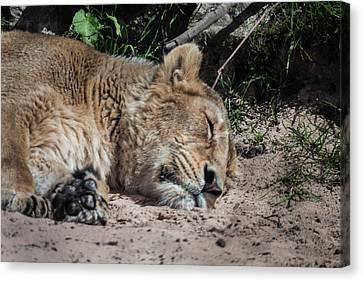 The Lion Sleeps Tonight Canvas Print by Doc Braham