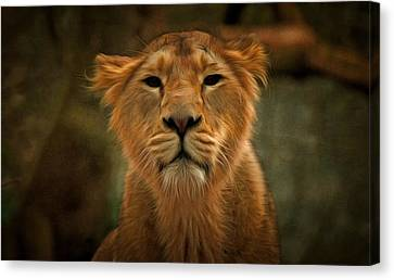 The Lioness Canvas Print by Scott Carruthers