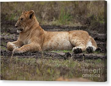 The Lioness Canvas Print by Stephen Smith