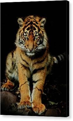 The Look Canvas Print by Animus Photography